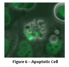 Apoptotic Cell